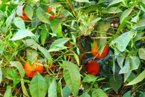 sinaasappels bij de saadische graven